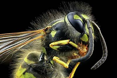 Animals Photograph - Wasp by Frank Fox