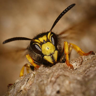 On Paper Photograph - Wasp by Izzy Standbridge