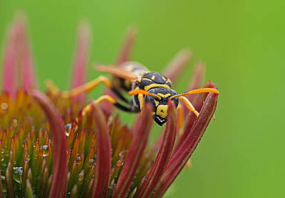 Photograph - Wasp  by Juergen Roth