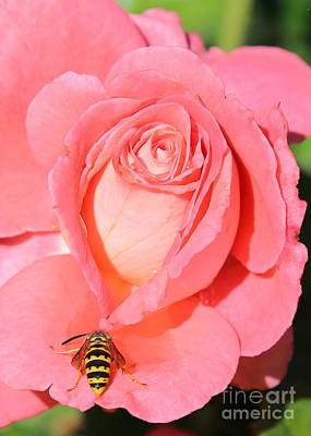 Roses Photograph - Wasp On Pink Rose by Carol Groenen