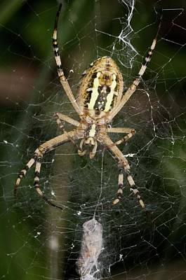 Orb Weaver Spider Photograph - Wasp Spider And Prey by Bob Gibbons