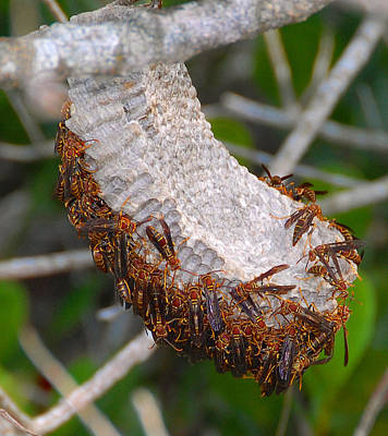 Photograph - Wasp Nest Everglades Florida. by David Lee Thompson
