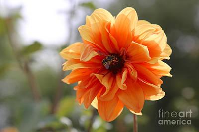 Orange Photograph - Orange Dahlia With Wasp by Carol Groenen