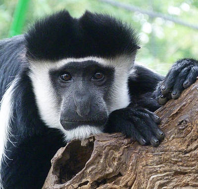 Photograph - Watchful Black And White Colobus by Margaret Saheed
