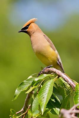 Photograph - Watchful Cedar Waxwing by Mike Farslow