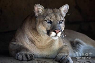 Watchful Cougar Art Print by John Van Decker