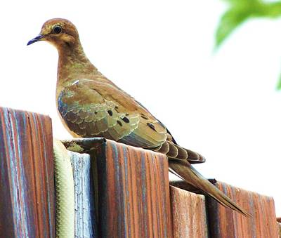 Photograph - Watchful Dove by Helen Carson