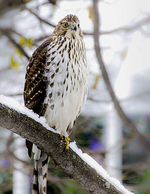 Red Tail Hawks Photograph - Watchful Eye Of A Hawk by Julie Palencia