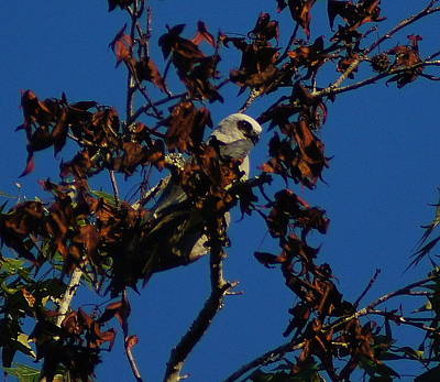 Mississippi Kite Photograph - Watchful Eye by Paul Wilford