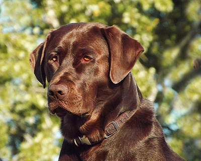 Chocolate Lab Photograph - Watchful Eyes by Terril Heilman