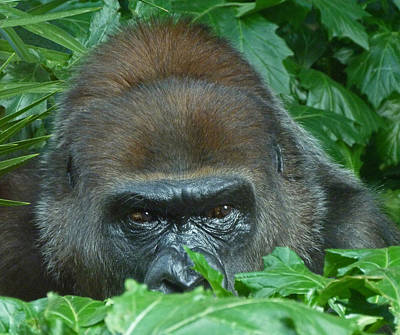 Photograph - Watchful Gorilla by Margaret Saheed