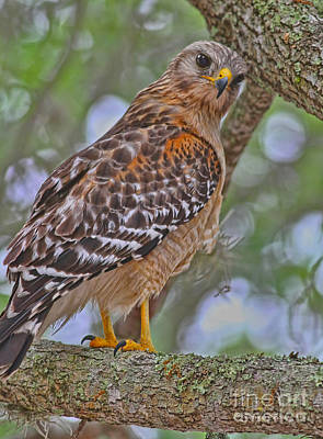 Red Shouldered Hawk Photograph - Watchful Look by Deborah Benoit