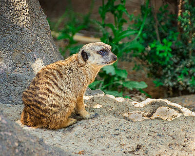 Meerkat Wall Art - Photograph - Watchful Meerkat by Jon Woodhams