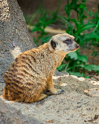 Meerkat Photograph - Watchful Meerkat Vertical by Jon Woodhams