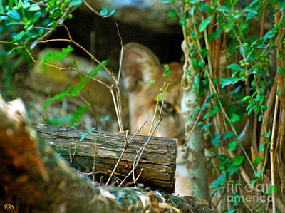Lion In Waiting Photograph - Watching by Francine Hall