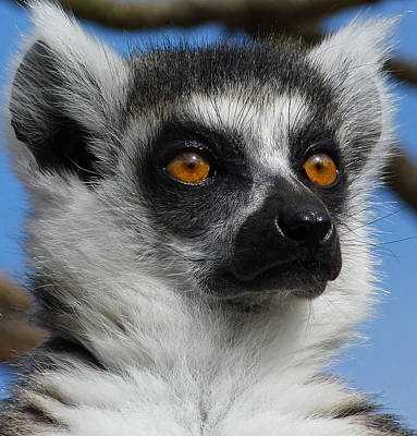 Photograph - Watching His Group - Ring-tailed Lemur by Margaret Saheed