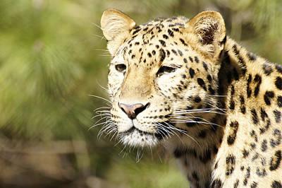 Watching Leopard Art Print