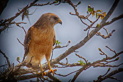 Photograph - Watching Prey by Nicholas Evans