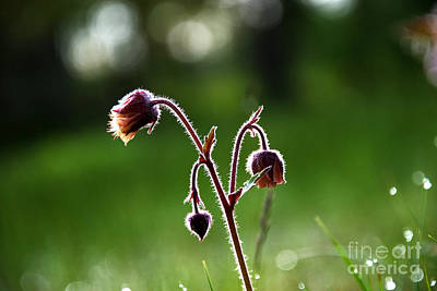 Photograph - Water Avens by Kennerth and Birgitta Kullman