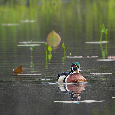 Wood Duck Photograph - Water Birds Wood Duck Square by Bill Wakeley