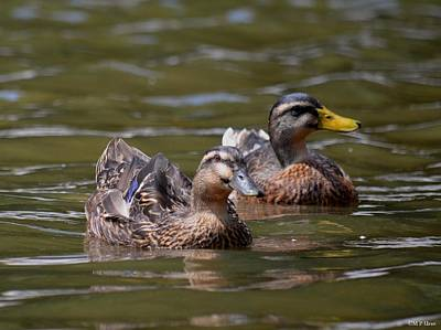 Photograph - Water Buddies - Female Mallards by Maria Urso