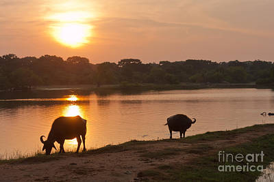 Photograph - Water Buffalo At Sunset by Liz Leyden