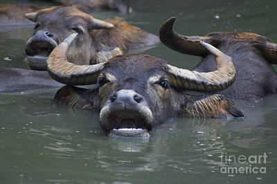 Water Buffalo Art Print by B Wayne Mullins