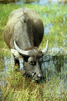 Photograph - Water Buffalo by Rick Piper Photography