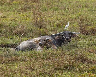 Photograph - Water Buffalos In A Mud Wallow Dthp432 by Gerry Gantt