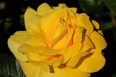 Photograph - Water Color Yellow Rose by Tikvah's Hope