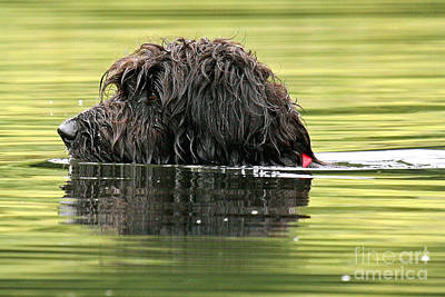 Photograph - Water Dog by Butch Lombardi