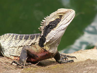 Photograph - Water Dragon Profile by David Rich