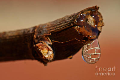 Photograph - Water Drop On A Branch by Nick  Biemans