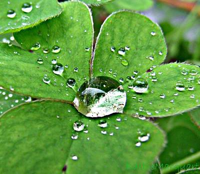 Photograph - Water Drop On Shamrock by Barbie Marquart