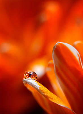 Tulips For The Home Photograph - Water Drop On Tulip Petal by Wendy Thompson