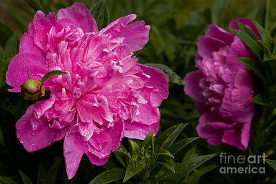 Photograph - Water Droplets On Peonies by Lena Auxier