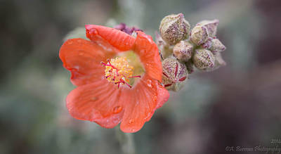 Water Drops On A Globemallow Art Print by Aaron Burrows