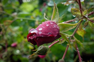 Rain Drops On Rose Art Print