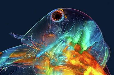 Water Flea Head Art Print by Marek Mis