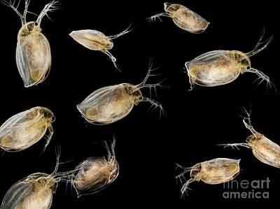 Water Flea Photograph - Water Fleas, Light Micrograph by Laguna Design