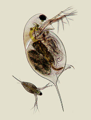 Daphnia Photograph - Water Fleas by Marek Mis
