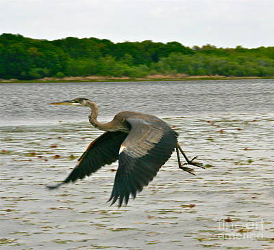 Photograph - Water Fowl On The Wing by Joan McArthur