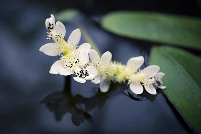 Photograph - Water Hawthorn by Priya Ghose