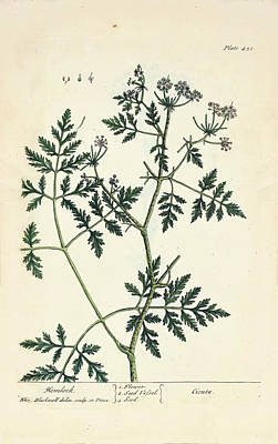 Hemlock Photograph - Water Hemlock Plant by National Library Of Medicine