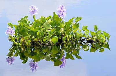 Water Hyacinth 1 Art Print by Sheri McLeroy
