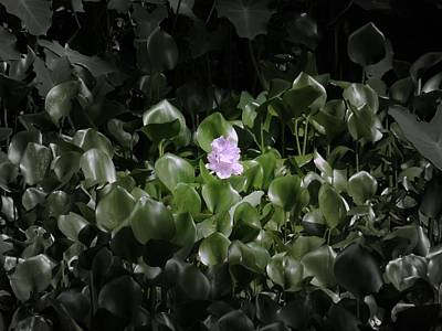 Photograph - Water Hyacinth by Daniel Chowdhury