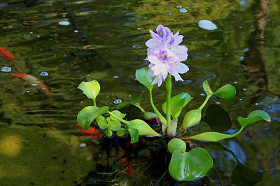 Water Hyacinth Float Art Print