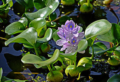 Photograph - Water Hyacinth by Linda Brown