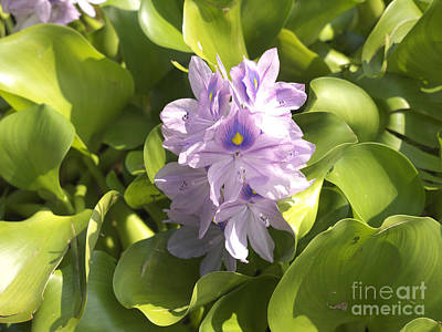 Photograph - Water Hyacinth On Lake Maggiore by Brenda Kean