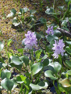 Photograph - Water Hyacinth by Shere Crossman